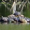 14 Eastern Painted turtles