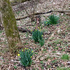 Jonquils sprouting alongside towpath indicate Spring in near