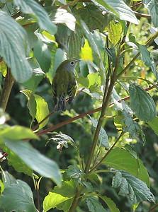 Chestnut-sided warbler.