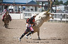 Bull Fighter Distracting the Bull so the Rider can get away Safe - Cheyenne Frontier Days Rodeo - Photo by Pat Bonish