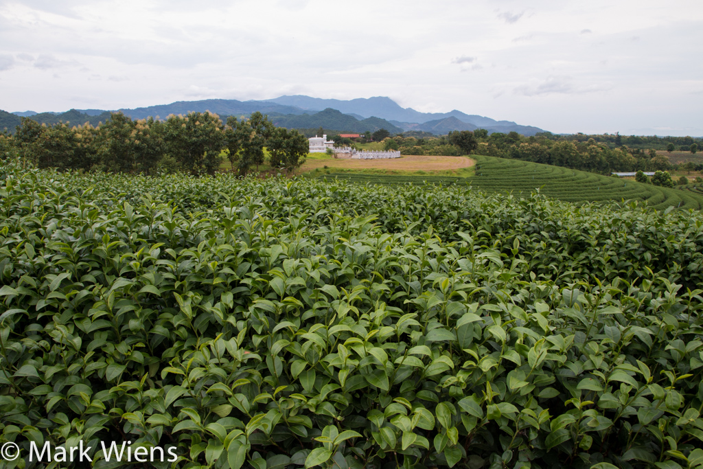 Chiang Rai tea plantation