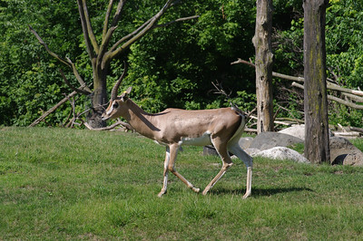 Gazelle in the Lincoln Park Zoo