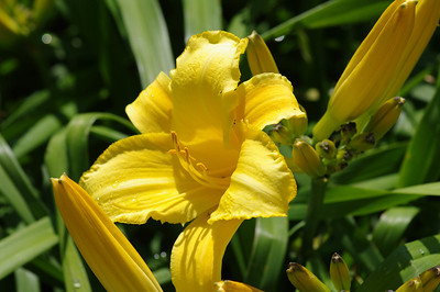Yellow Day Lilies Perishing in the Heat - Grant Park