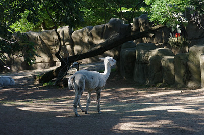 Llama in LIncoln Park zoo