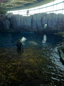 Shedd Acquarium... Beluga Whales