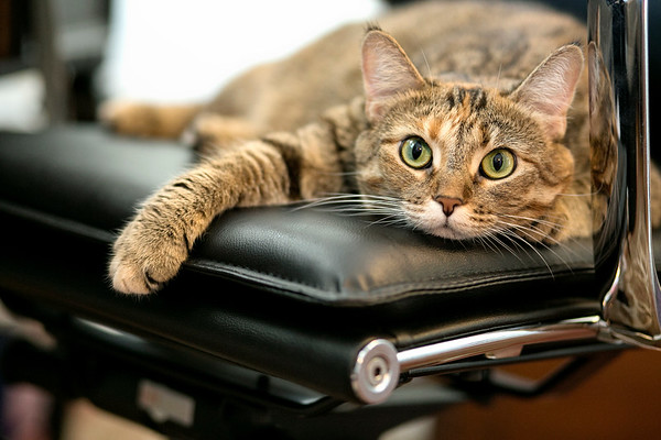 Tabby cat with big round green eyes draped on desk chair