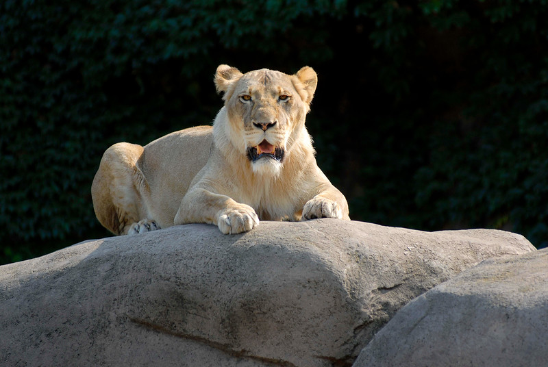 Lincoln Park Zoo is a favorite attraction