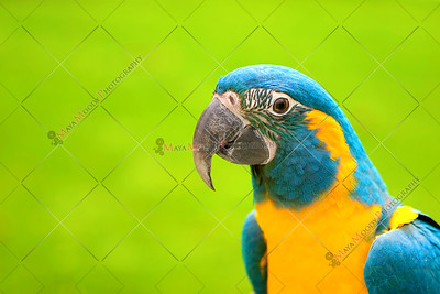 Yellow and Green Parrot with a grape in between it's beak