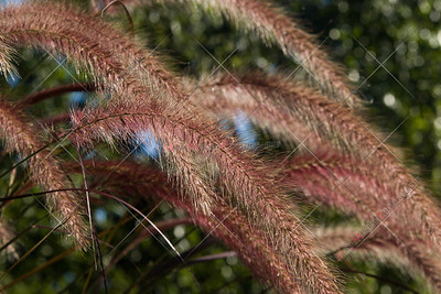 Autumn Tall Grass Seed