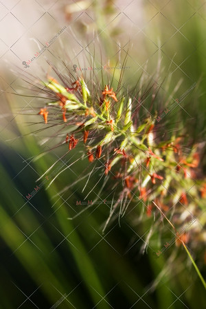 Grass seed close-up