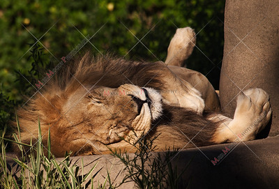 Lazy Lion Sleeping at Zoo