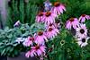 Mostly Echinacea