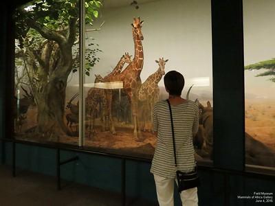 Field Museum Mammals of Africa June 2016 part 6