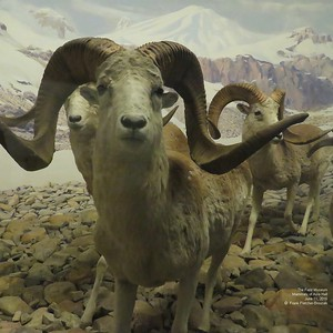 Field Museum  Mammals of Asia June 2016 part 10