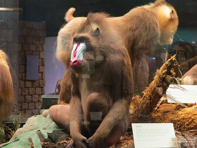 Field Museum World of Mammals June 2016 part 9a