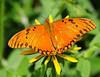 Orange Butterfly C