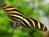 Multi-Striped Butterfly C