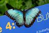 Blue Butterfly C