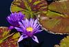 Purple Lily C