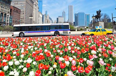 Still more Chicago tulips