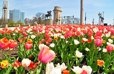 More Chicago tulips