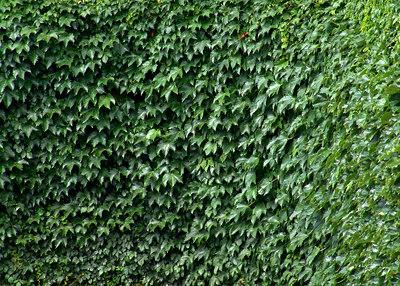 Ivy, Wrigley Field