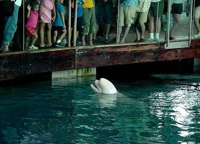 Beluga Whale at Shedd Aquarium