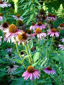 Flowers, Lurie Garden, Millennium Park, Chicago