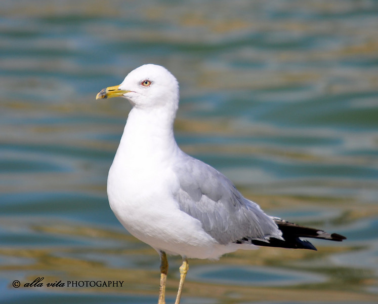 Chicago Gull #2