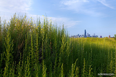 Chicago SW Yellow Flower 1648