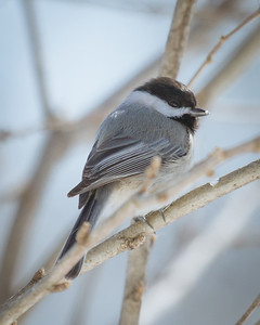 Cold Chickadee in Illinois Winter