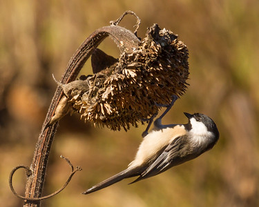 Chickadee in Fall with Seed Pod