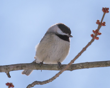 Inquisitive Chickadee