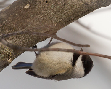 Chickadee Down Under