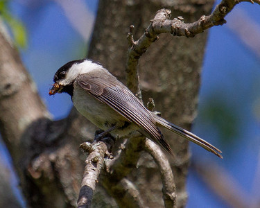 Chickadee with Insects