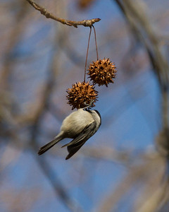 Chickadee on Gum Ball