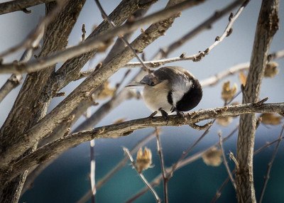 Chickadee Bowing to the Cold