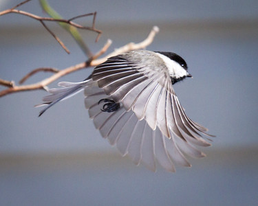 Black Capped Chicadee Flying
