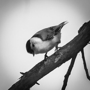 Chickadee in Black and White