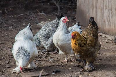 Cock - Hane