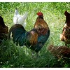 Rooster with Hens