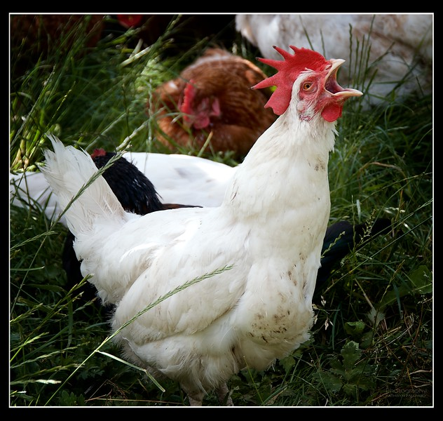 This hen kept making this action but not a sound came out. Was she imitating the rooster or did she have something caught in her throat?
