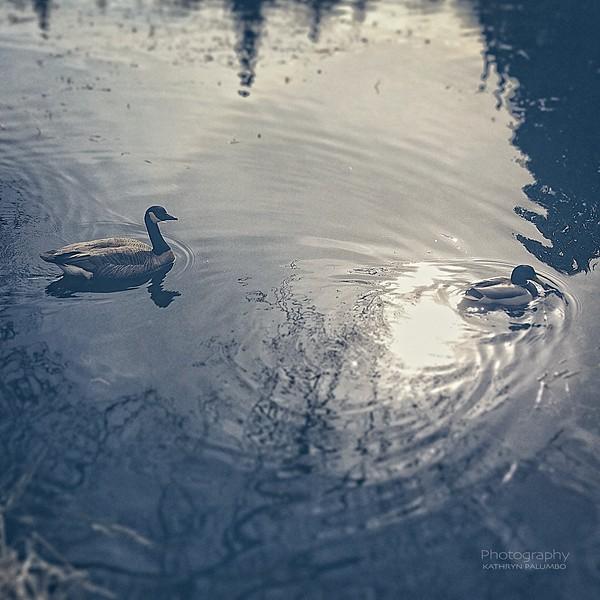 Duck, Goose