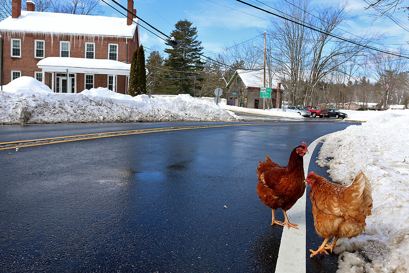 Two chickens where out for a stroll, as the sun started to come out, on West main Street Monday February 13, 2017 a day after the weekend storm that dropped around 24 inches on the Town. SUN/JOHN LOVE