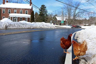 Chickens in West Groton, Feb. 13, 2017