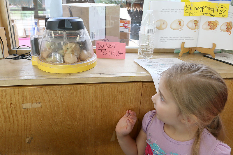 """On June 29, 2017 the Fitchburg Public Library got some eggs from """" Hatch the Chicken"""" with an incubator so that kids that came to the library could learn all about how chickens are born. On Wednesday July 19th they started to hatch and by Thursday there was only one chick that till had not come out of his shell. There were seven eggs and after they all hatch they will stay in the incubator for about 24 hours and then be moved to a bigger container where the library will have them for about two weeks for kids to see before they come back and get them. Sage Sherockman, 4, gets a look at the newly hatched chicks on Thursday during a visit to the library. SENTINEL & ENTERPRISE/JOHN LOVE"""