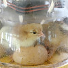 "On June 29, 2017 the Fitchburg Public Library got some eggs from "" Hatch the Chicken"" with an incubator so that kids that came to the library could learn all about how chickens are born. On Wednesday July 19th they started to hatch and by Thursday there was only one chick that till had not come out of his shell. There were seven eggs and after they all hatch they will stay in the incubator for about 24 hours and then be moved to a bigger container where the library will have them for about two weeks for kids to see before they come back and get them. The newly hatched chicks try and get comfortable in the incubator on Thursday morning. SENTINEL & ENTERPRISE/JOHN LOVE"