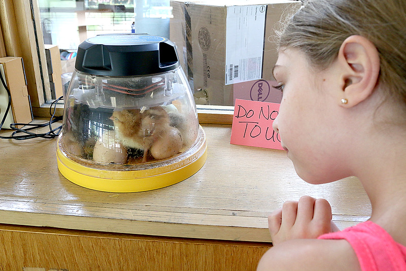"""On June 29, 2017 the Fitchburg Public Library got some eggs from """" Hatch the Chicken"""" with an incubator so that kids that came to the library could learn all about how chickens are born. On Wednesday July 19th they started to hatch and by Thursday there was only one chick that till had not come out of his shell. There were seven eggs and after they all hatch they will stay in the incubator for about 24 hours and then be moved to a bigger container where the library will have them for about two weeks for kids to see before they come back and get them. Ayla Sherockman, 7, gets a look at the newly hatched chicks on Thursday during a visit to the library. SENTINEL & ENTERPRISE/JOHN LOVE"""