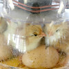 """On June 29, 2017 the Fitchburg Public Library got some eggs from """" Hatch the Chicken"""" with an incubator so that kids that came to the library could learn all about how chickens are born. On Wednesday July 19th they started to hatch and by Thursday there was only one chick that till had not come out of his shell. There were seven eggs and after they all hatch they will stay in the incubator for about 24 hours and then be moved to a bigger container where the library will have them for about two weeks for kids to see before they come back and get them. The newly hatched chicks try and get comfortable in the incubator on Thursday morning. SENTINEL & ENTERPRISE/JOHN LOVE"""