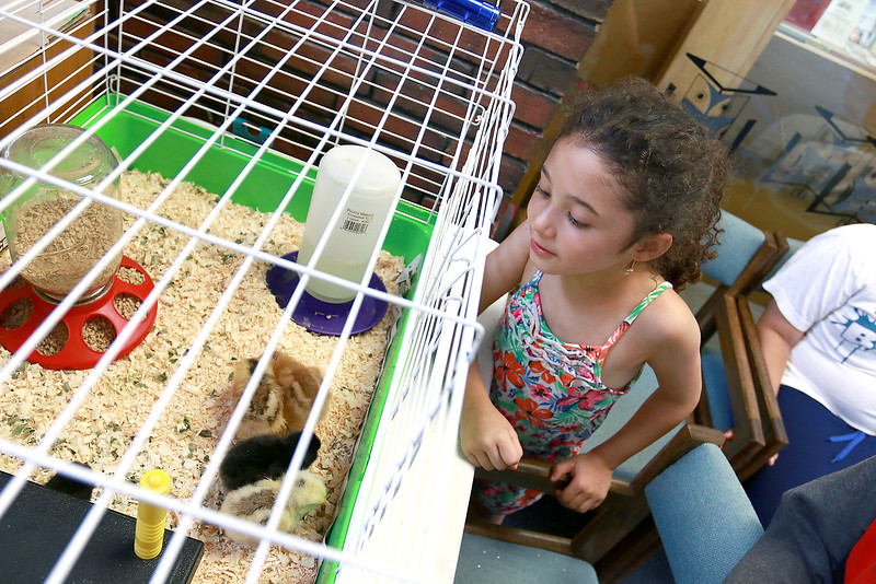 The Fitchburg Public Libray's chicks that hatched last week are now in a bigger cage for everyone to see. They will be at the Library for a couple of weeks and then go back to farm they came from. Brianna Velazco, 5, from Fitchburg tries to get a good look at the day and a half old chicks on Thursday, July 20, 2017. SENTINEL & ENTERPRISE/JOHN LOVE